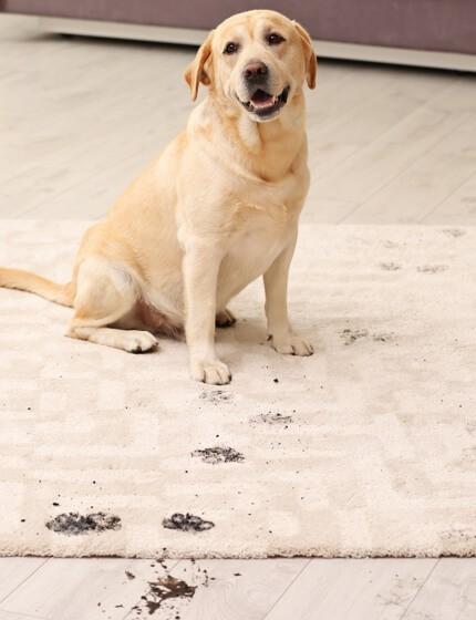 Stain on rug | Shoreline Flooring